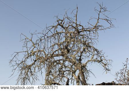 Dead Acorn Tree Back Lighting With A Clear Blue Sky In Southern Andalusia Spain