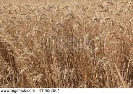 Dry Cereal Field Ready For Collection