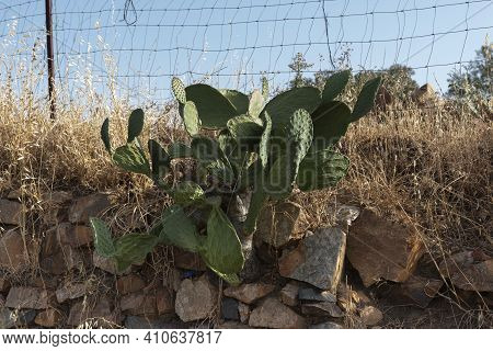 Dry Cactus In An Andalusian Village In Southern Spain