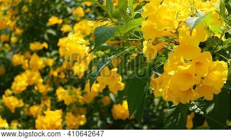 Beautiful Yellow Flowers In Bunches On The Branches Of A Bush. Natural Floral Background. Spring Moo