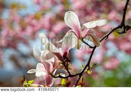 Amazing  Blossom Of Magnolia Tree And Cherry Blossoms At Background In Kaiserslautern Japanese Garde