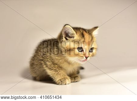 A Small Kitten Of The British Chinchilla Breed. Out Of Focus, Possible Granularity, Motion Blur