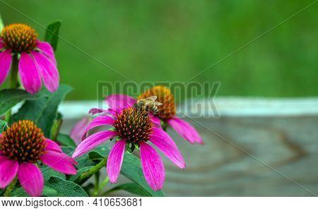 A Honey Bee Gathers Pollen From A Pretty Purple Coneflower In A Missouri Garden. A Nice Bokeh Effect