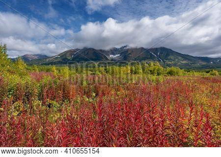 Blooming flowers Ivan tea or Willow-herb near Vachkazhets volcano on Kamchatka peninsula.