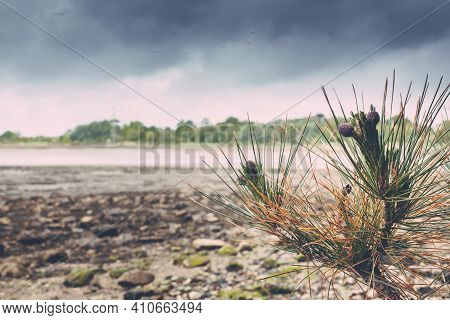Small Pinecone Tree With Purple Pinecones Overlooking A Shoreline With The Tide Out.