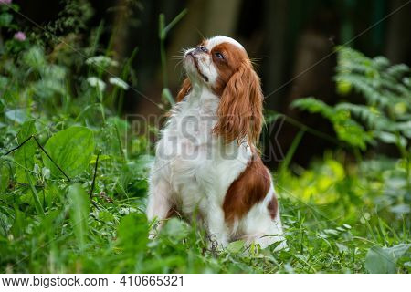 Puppy Breed Cavalier King Charles Spaniel, White-red Color, Sits On A Grasslet In The Country, Horiz