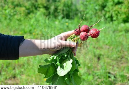 A Female Hand Holds A Freshly Picked Radish. Fresh Fruits And Vegetables. Organic Vegetables. Farmer