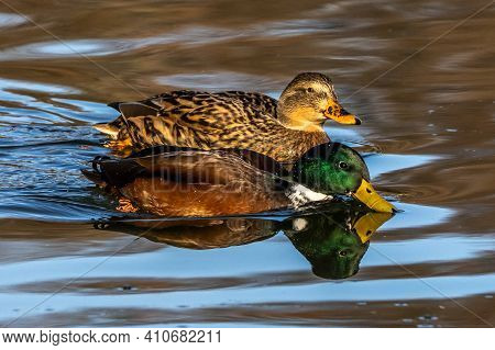 The Mallard, Anas Platyrhynchos Is A Dabbling Duck. Here Swimming In A Lake