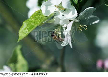 Bee On A White Flower On A Tree.bee Picking Pollen From Apple Flower