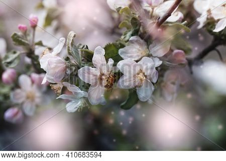 Bee On A White Flower On A Tree.bee Picking Pollen From Apple Flower.bee On Apple Blossom.honeybee C