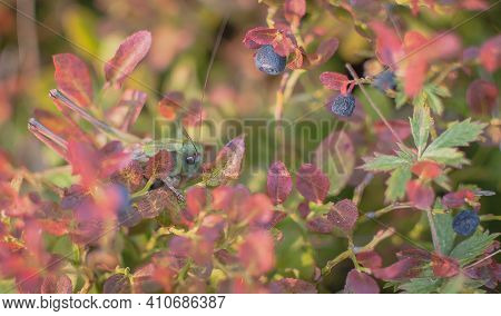Locusts Hiding In Wild Blueberry Bushes With Berries