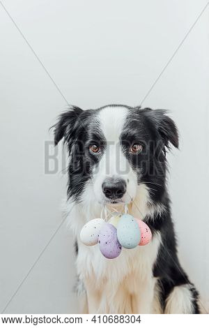 Happy Easter Concept. Preparation For Holiday. Cute Puppy Dog Border Collie Holding Easter Colorful