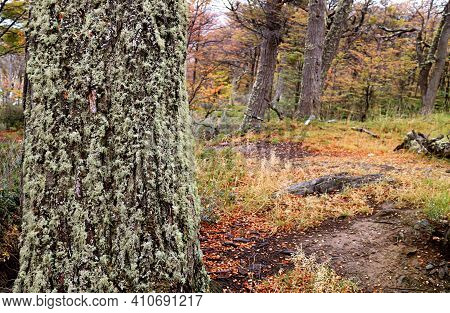 Closeup A Tree Trunk Covered With Beard Lichen With Fall Foliage In The Backdrop, Tierra Del Fuego N