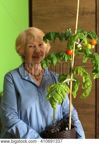 An Intelligent Elderly Lady Holds A Pot Of Home-grown Tomato In Her Hands. Organic Tomatoes Grown On