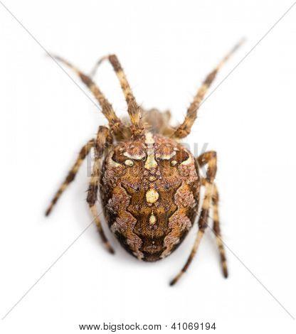 Top view of an European garden spider against white background