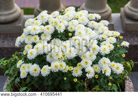 Decorative Composition Of White Chrysanthemum, Autumn Bouquet. Snow-white Chrysanthemum In Leaf Fall