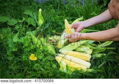 Young Woman Cleans Freshly Picked Ears Of Corn. Corn Cleaning Process. Woman Peeling Corn. Close-up