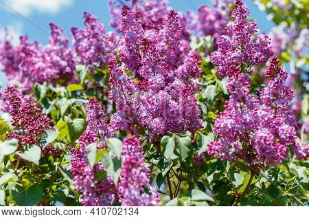 Spring Blooming Flowers Of Lilac On Lilac Bushes Against The Blue Sky. Natural Background Of Violet