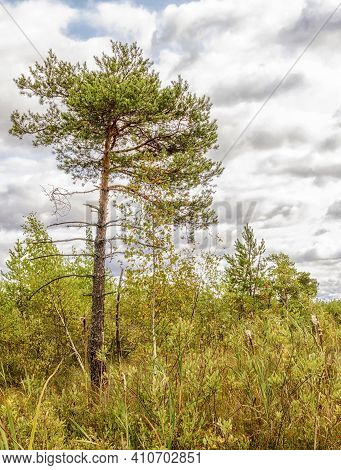 Swamp Landscape Pine, Cranberry And Other Swamp Plants On In Summer Sunny Weather.