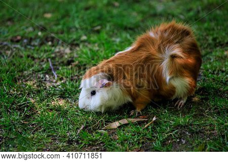 Close-up Of White-brown Long Hair Domestic Guinea Pig Cavy In The Garden. Lively Nature Of Countrysi