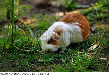 Close-up Of White-brown Domestic Guinea Pig Cavy In The Garden. Lively Nature Of Countryside.