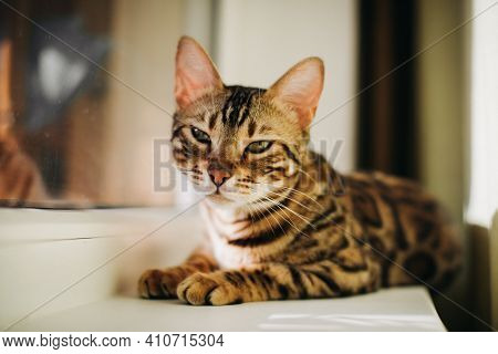 Cute Charcoal Bengal Kitty Cat Laying On The Cats Window Bed With Elder Gold Bengal Cat Watching On