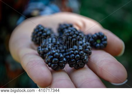 Blackberries Focused On Human Hands. The Harvest Of Blackberries. Ripe Blackberries In The Palm Of Y