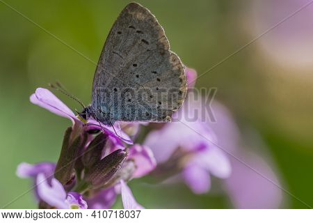 Small Blue Butterfly On A Erysimum Bowles Mauve Perennial Wallflower