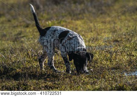 Full Body Portrait Of A Young Female Spotted Puppy Sniffing The Grass At Sunset