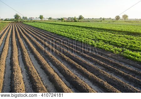Farm Field Planted Landscape Of Potatoes And Carrots. An Empty Seeded Area With Ridges. Agroindustry
