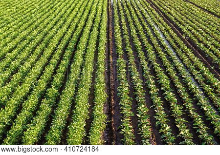 Landscape Of A Farm Field Of Plantation Of Potato And Eggplant Bushes. Surface Heavy Irrigation Syst