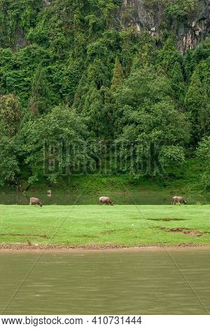 Guilin, China - May 10, 2010: Along Li River. Brown Buffalo On Grass  In Front Of Steep Forested Mou