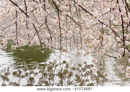 Cherry Blossom And Pond Of Japenese Garden
