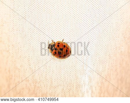 Red Coccinellidae With Black Spots On White Tissue.