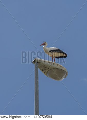 White Stork, Ciconia Ciconia, Perched On A Streetlamp. Photo Taken In The Municipality Of Colmenar V