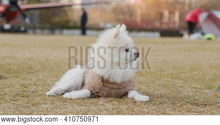 Pomeranian lying on the lawn