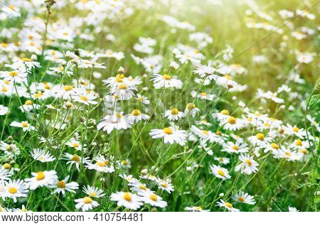Floral Summer Background Of Field Chamomile Flowers. Wild Flowers Field. Blurred Image. Selective Fo