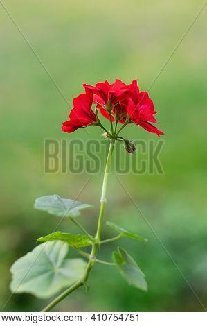 Red Geranium Flowers In Summer Garden. Red Pelargonium Close-up. Blooming Indoor Plants. Vertical Cr