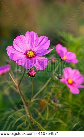 Beautiful Cosmos Flowers Close-up. Summer Floral Background. Cosmos Flowers Background. Vertical Cro
