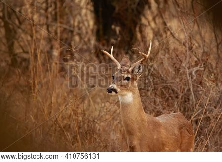 Four Point Buck Whitetail Deer Standing Alert In The Woods
