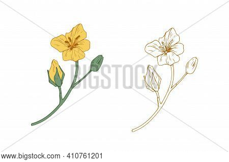 Colored And Outlined Branches Of Yellow Rapeseed Plant. Rape Canola Flower Buds. Botanical Elements