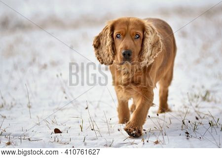 Red-haired Cocker Spaniel Dog Walking On A Snowy Meadow