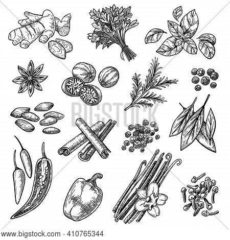 Sketches Set. Hand Drawn Cinnamon, Cardamom, Nutmeg, Ginger, Clove, Vanilla, Basil, Oregano, Rosemar