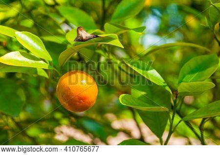 Citrus in the garden, citrus fruit. Kumquat citrus fruit, fortunella japonica in summer garden, closeup of citrus fruit, citrus closeup, citrus harvest, citrus at summer