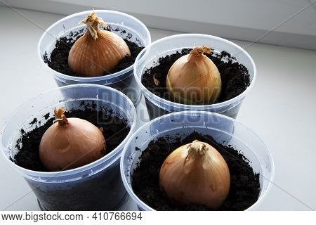 A Garden Of Young Onion On A Window Sill.growing Onions On The Windowsill.
