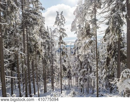 View Of Winter Landscape With Fields Downhill Over Snowy Spruce Tree Forest With Snow Covered Conife