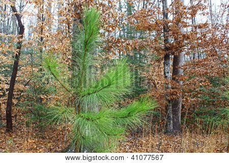 Longleaf Pine tree