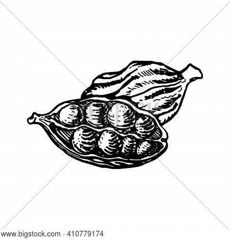 Vector Line Drawing Handmade Cardamom Isolated On White Background. Sketches Of