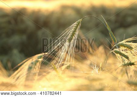 Ear of wheat Nature field dusk Nature background Nature background cereal Nature bread Nature background Macro Nature background sunset sun Nature background Nature background outdoor Nature background grain plant Nature background.