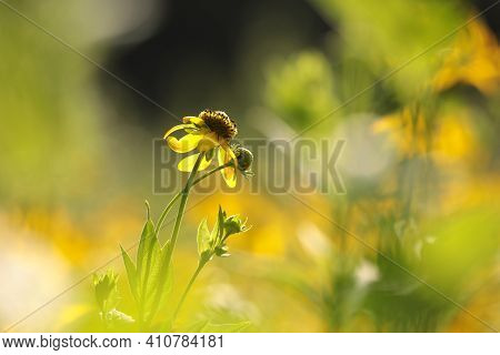 Cutleaf Coneflower flower Nature flower Nature flower Nature background Nature flower yellow flower summer flower Nature background Nature flower Nature background flower Nature background flower garden Nature flower background Nature flower background.